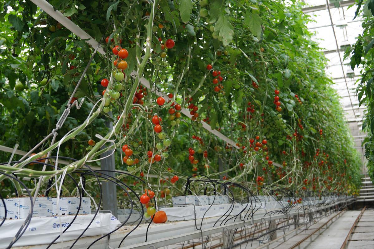 Теплицы для выращивания помидоров зимой 398